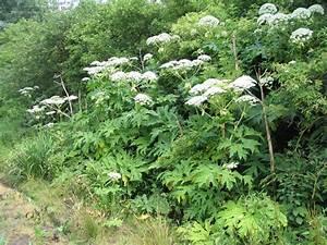 Blühende Hecke Schnellwachsend : neophyten in deutschland abenteuer einfaches leben neophyten die zugewanderten pflanzen ~ Eleganceandgraceweddings.com Haus und Dekorationen