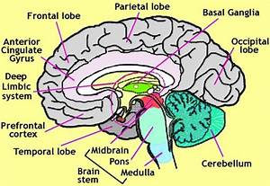 The human Brain and its important functions