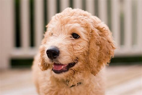 hypoallergenic dogs fact or fiction pets4homes