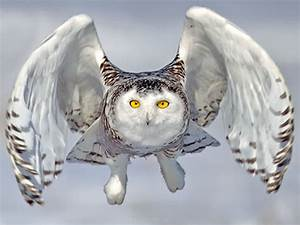 Flying Snowy Owl Drawing