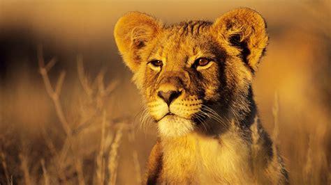 Koleksi Gambar Singa Si Raja Hutan