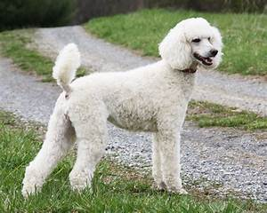10 Facts That Make Poodles Interesting 3MillionDogs