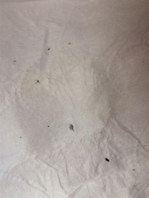 tiny black bugs making head itch thriftyfun