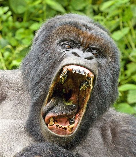 Gorilla with Mouth Open