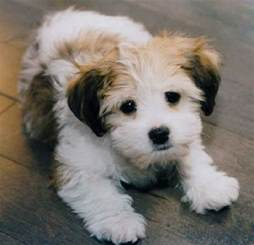 non shedding small mixed breed dogs dog breeds picture