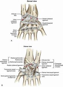 Structure And Function Of The Wrist