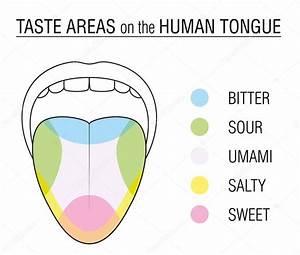 Taste Buds Colored Tongue Chart  U2014 Stock Vector  U00a9 Furian