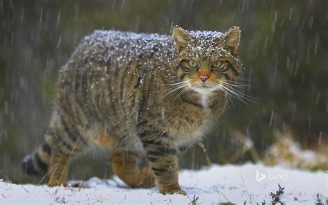 suzys animals   world blog  european wildcats