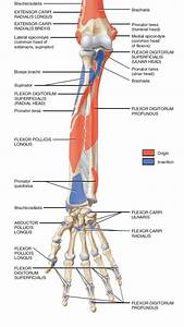 muscles of forearm origin and insertion - Google 검색 ...