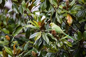 Magnolie Blätter Erfroren : immergr ne magnolie pflegen gie en schneiden und mehr ~ Lizthompson.info Haus und Dekorationen