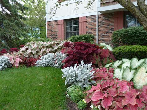 shade plants washington state growing caladiums
