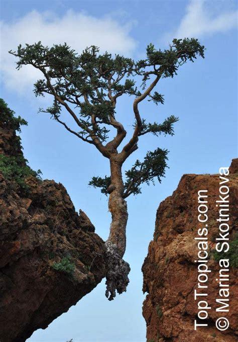 boswellia sacra tree boswellia sacra boswellia carteri boswellia undulato crenata frankincense olibanum tree