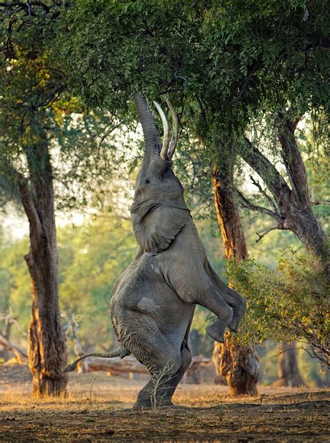 elephant cuisine elephant stands on its back legs to eat tree top leaves
