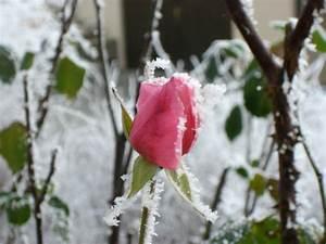Rosen Winterfest Machen : tipps zur rosenpflege bers jahr wie pflegt man die rosen richtig ~ Frokenaadalensverden.com Haus und Dekorationen
