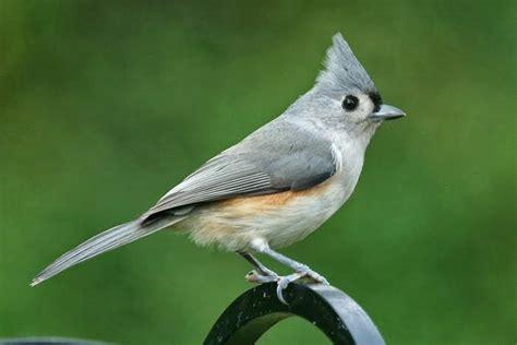 world beautiful birds tufted titmouse bird amazing