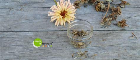 how to save zinnia seeds how to save zinnia seeds mom it forwardmom it forward