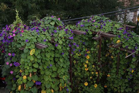 aneka tanaman rambat  dekorasi eksterior rooangcom