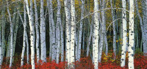 vois krapo arboricole