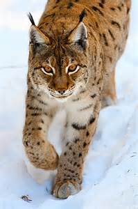 Eurasian Lynx Animals