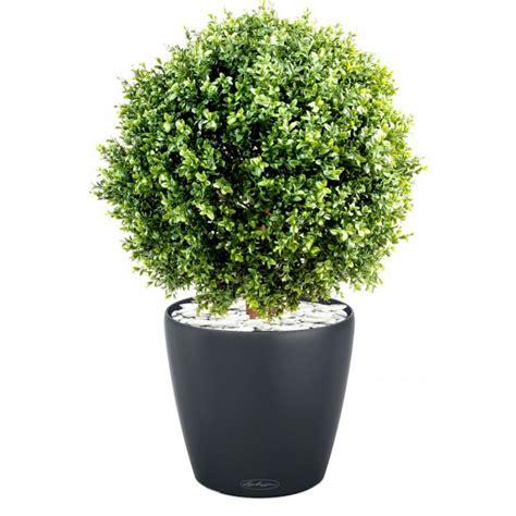 plante cuisine decoration location boule de buis naturel