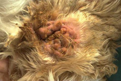 skin primary seborrhea  dogs vetlexicon canis
