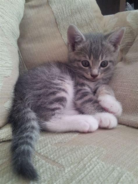 kitten for sale grey and white kitten for sale derby derbyshire