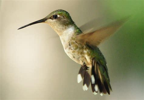 hummingbirds move through iowa iowa wildlife blog