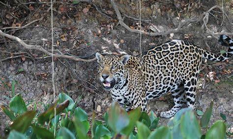 Jaguar   Defenders of Wildlife
