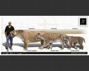 The gallery for --> Saber Tooth Tiger Size Compared Lion