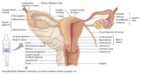 CH27 Ovarian Anatomy