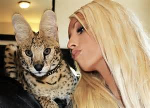 serval cat cost 17 best images about serval on cats 6