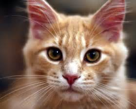 names for orange cats related keywords suggestions for orange cat names