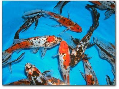 goldfish types      varieties