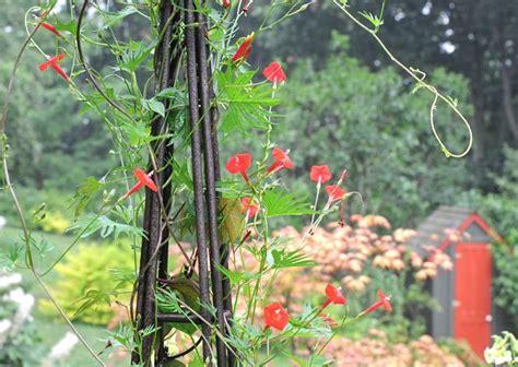 cardinal climber garden resolutions what i ll do differently a way to garden