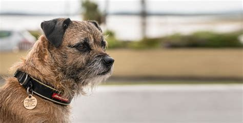 border terrier rassenportrait
