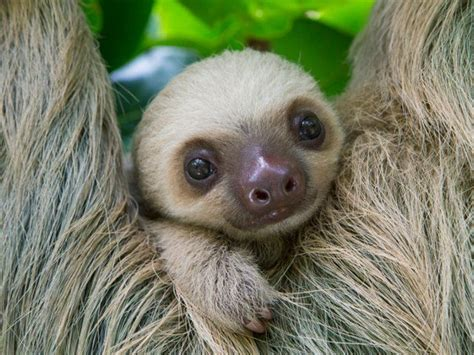 The 25 Best Two Toed Sloth Ideas On Pinterest Baby