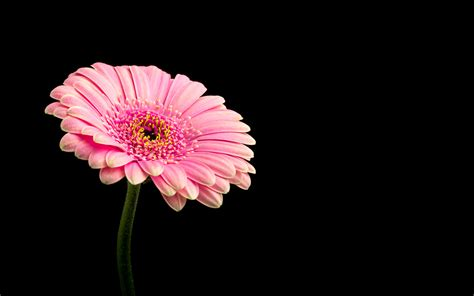 pink daisy flower  wallpapers hd wallpapers id