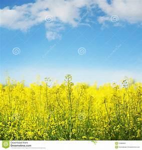 Graines Fleurs Des Champs : graine de colza jaune de champ en fleur photo stock image 31886984 ~ Melissatoandfro.com Idées de Décoration
