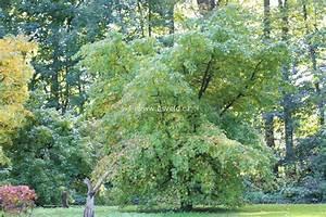 Weihrauch Pflanze Winterhart : abbildungen und beschreibung von liquidambar orientalis ~ Lizthompson.info Haus und Dekorationen