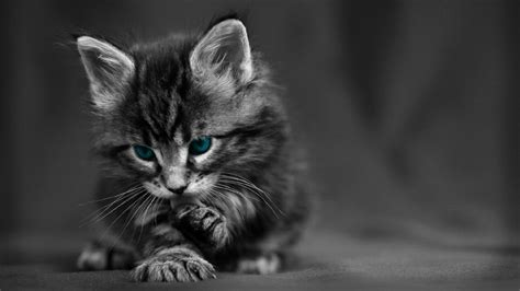 maine coon kitten dark grey hd cat wallpaper