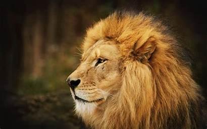 Lion Wallpapers Lions Background Desktop Animals Face