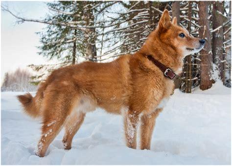 finnish spitz puppies breeders temperament facts