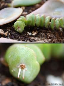 Propagating Succulents From Leaf Cuttings