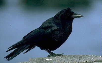 crow wiktionary