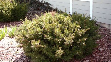 when to trim bushes pruning evergreen shrubs to maintain natural form youtube