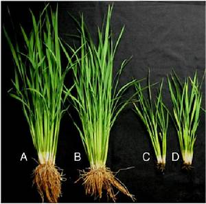 Phenotype Of The Rcn Rice At The Maximum Tillering Stage