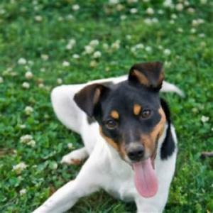 Chilean Fox Terrier Breed Guide - Learn about the Chilean ...