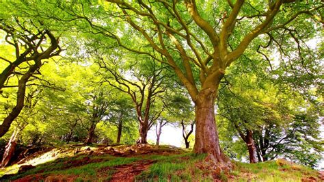Background Images Of Trees by Trees With A Beautiful Canopy Green Leaves Shade Thicker
