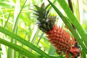 Plant D Ananas : pineapple plant the gifts under lola berry 39 s christmas tree popsugar fitness australia ~ Melissatoandfro.com Idées de Décoration