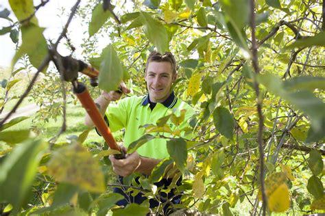apfelbaum schneiden zeitpunkt apfelbaum schneiden wassertriebe apfelbaum schneiden wann